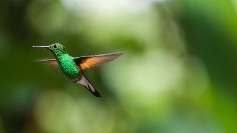 Diseñan dron con destrezas de un colibrí que sería útil en rescates